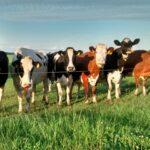 nieuwsgierige koeien tijdens een plattelandsverblijf bij camping vorrelveen