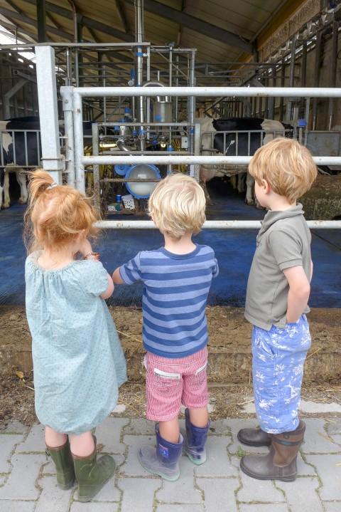koeien kijken tijdens kamperen bij de boer